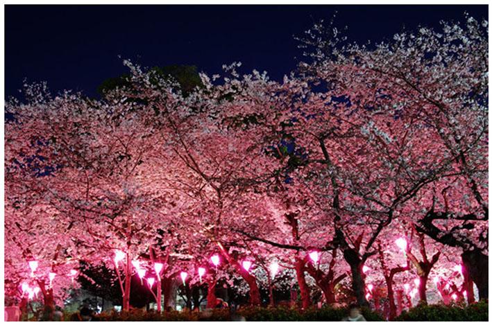 鶴舞公園の桜花見2018|開花予想とライトアップは?気温と服装は?